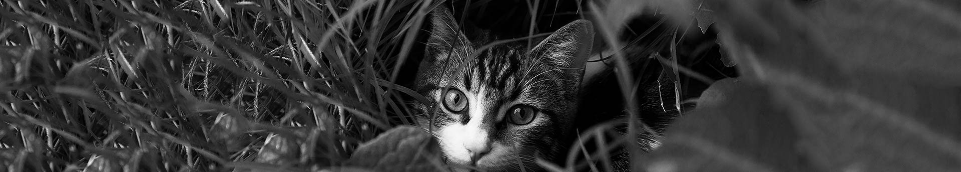 ORIJEN Cat & Kitten Dry Cat Food - Cat stealthily hiding in grass - Binx from Surprise, Arizona