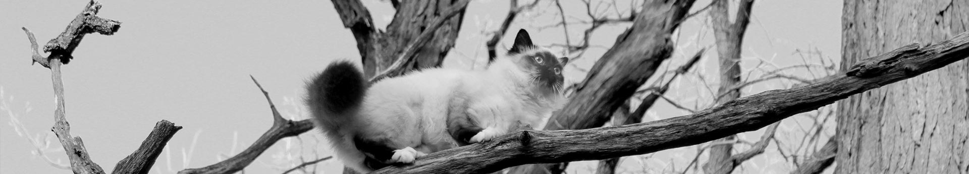 Siamese cat in a tree - Adventurous Finch from Grayslake, Illinois