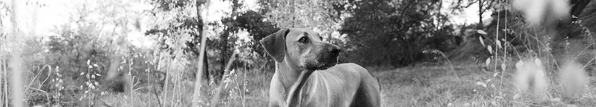 ORIJEN Senior Dog Food - Dog looking curiously in the woods - Koya from Reedley, California