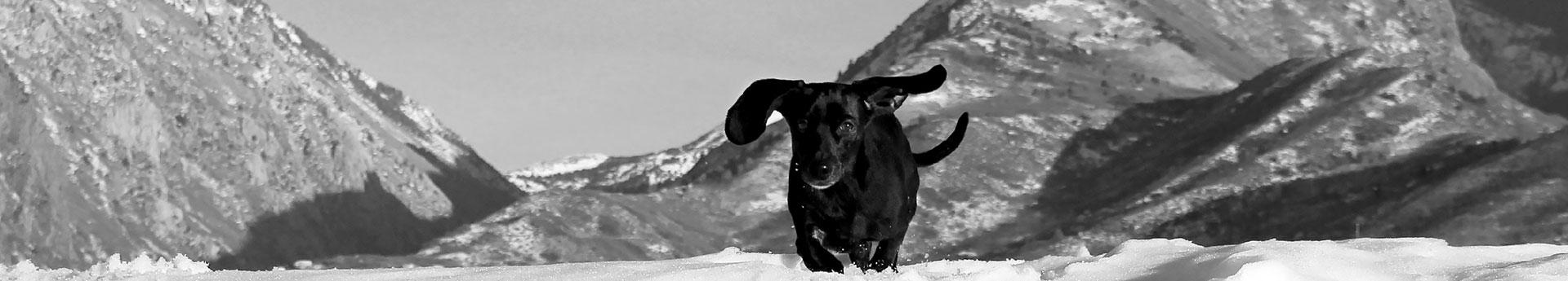 ORIJEN Tundra Dog Food - Dachshund running in the mountains - Rocket from Sandy, Utah