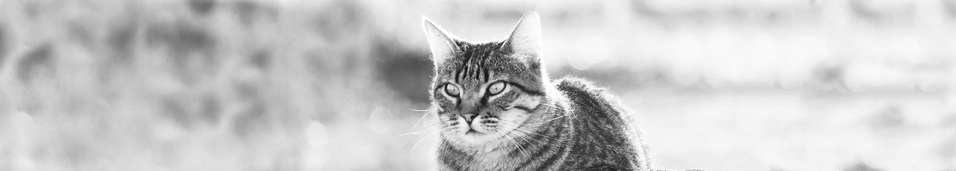 ORIJEN Tundra Dry Cat Food - Striped cat staring intently - Dante in Shelly, Idaho